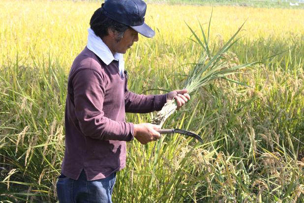 稲の刈り方