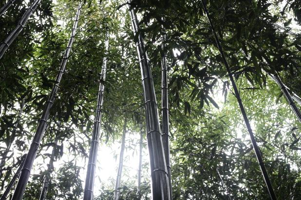 マダケの枝葉