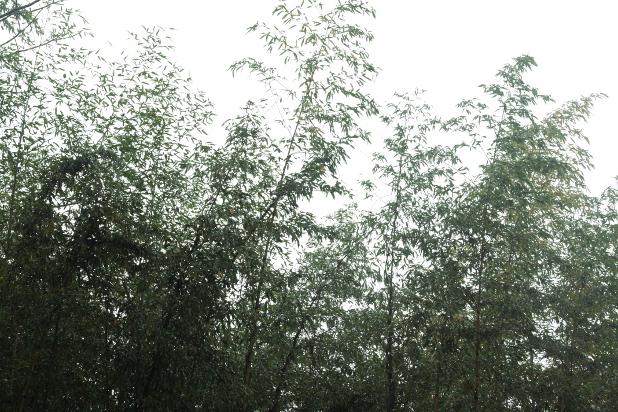 竹林を見上げる